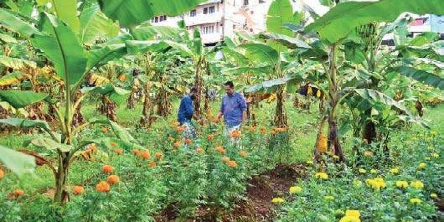 Banana being cultivated by CPM workers at Lenin Centre in Kochi