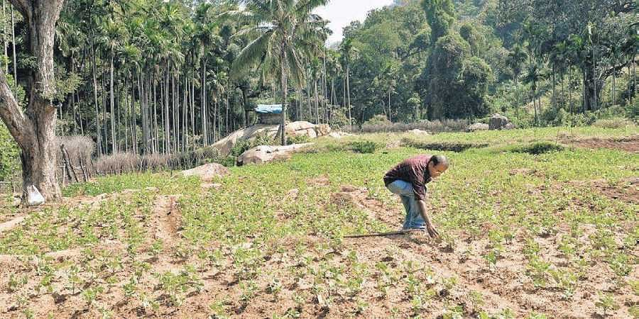 Fields cultivated with beans by the Muthuvan tribes at Thayyannankudy