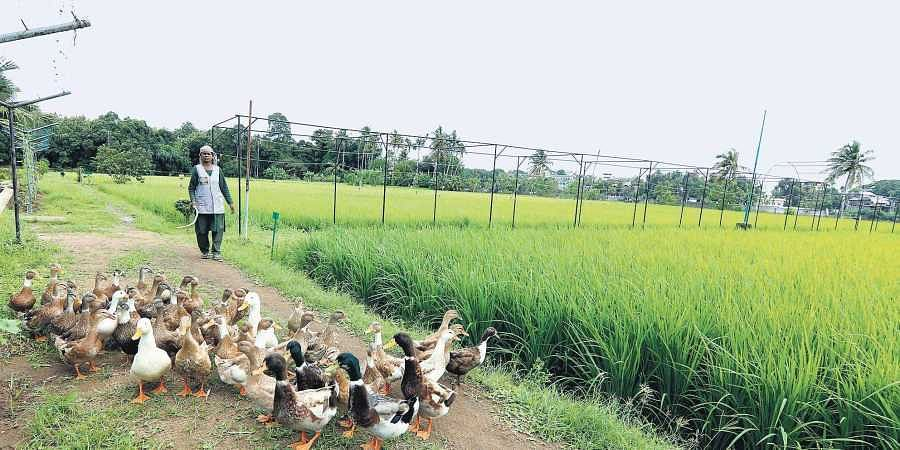 A worker managing a raft of ducks at the sprawling state seed farm at Aluva