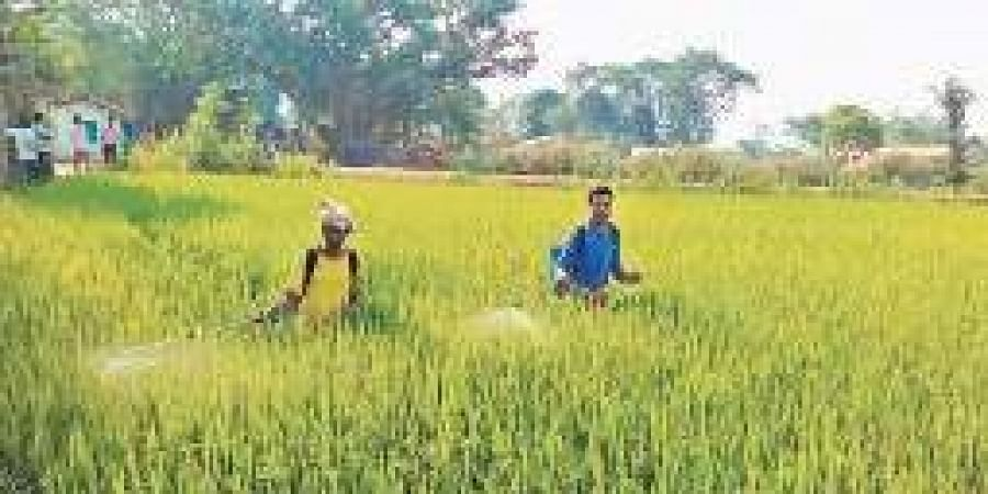 Farmers spraying pesticide in a farm field of a village in Kalahandi district.