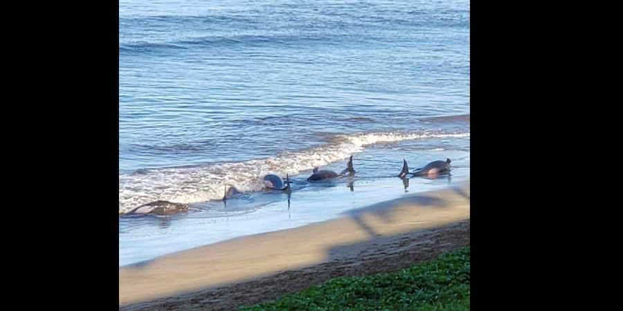 Five whales dead after mass stranding on Maui beach in