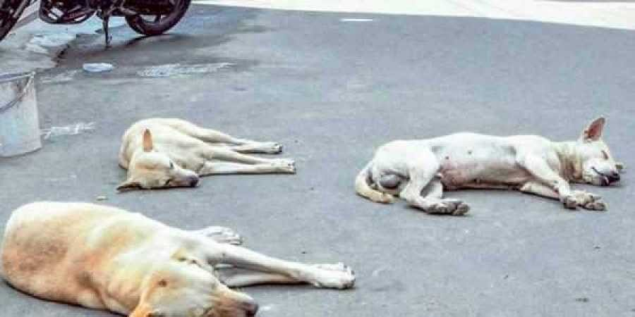 File Image of stray dogs for representational purposes. | Express Photo Services