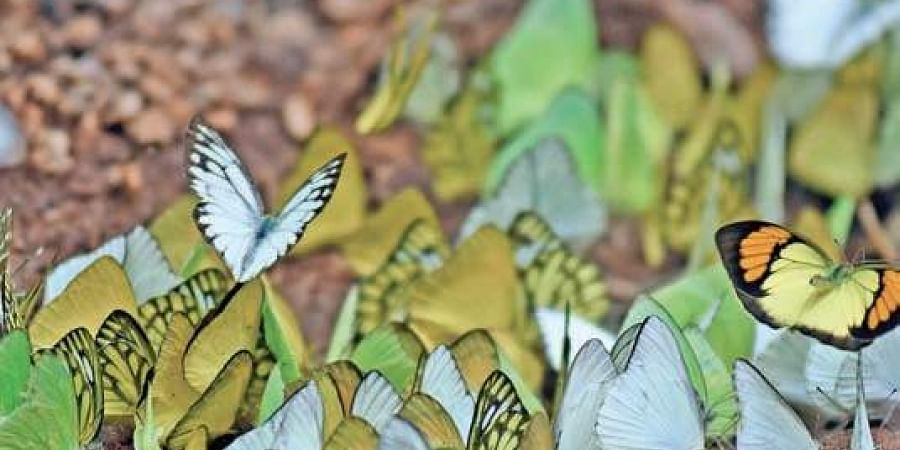 The coloured-wing creatures at Kondapalli Forest Reserve.