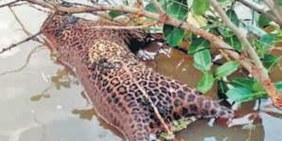 Three leopards found dead in Nanjangud- The New Indian Express