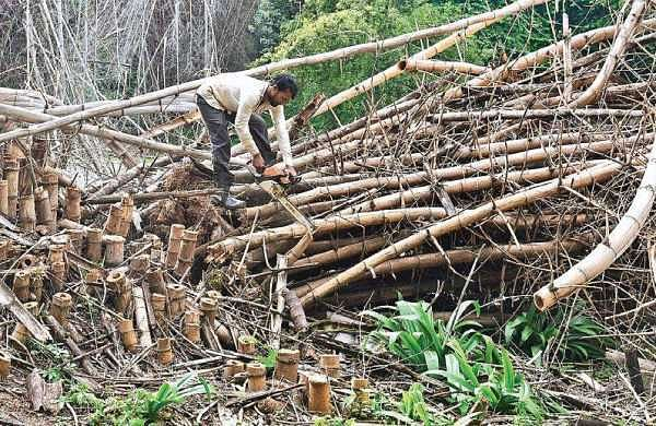 Horticulture Dept clears bamboo clumps