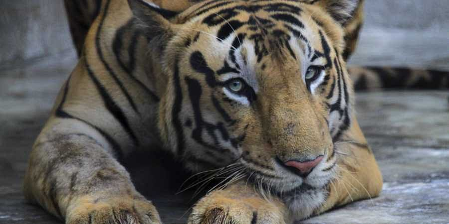 In a first, Nagpur tiger to get artificial limb soon