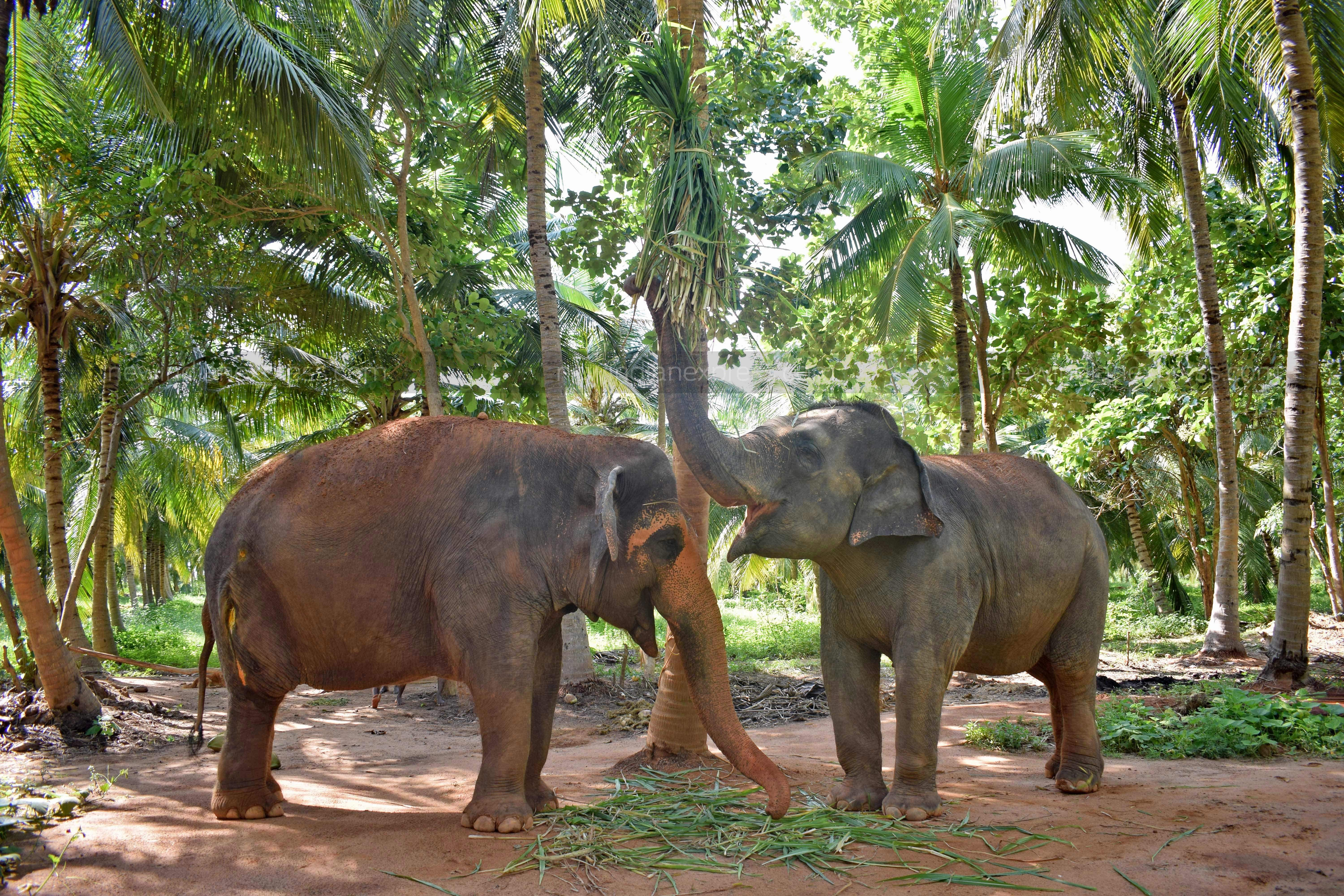 Seen here is just one of the ways in which the shelter adds exercise into their lifestyle. The move mimics reality in the wild where an elephant would feed off of tree branches.