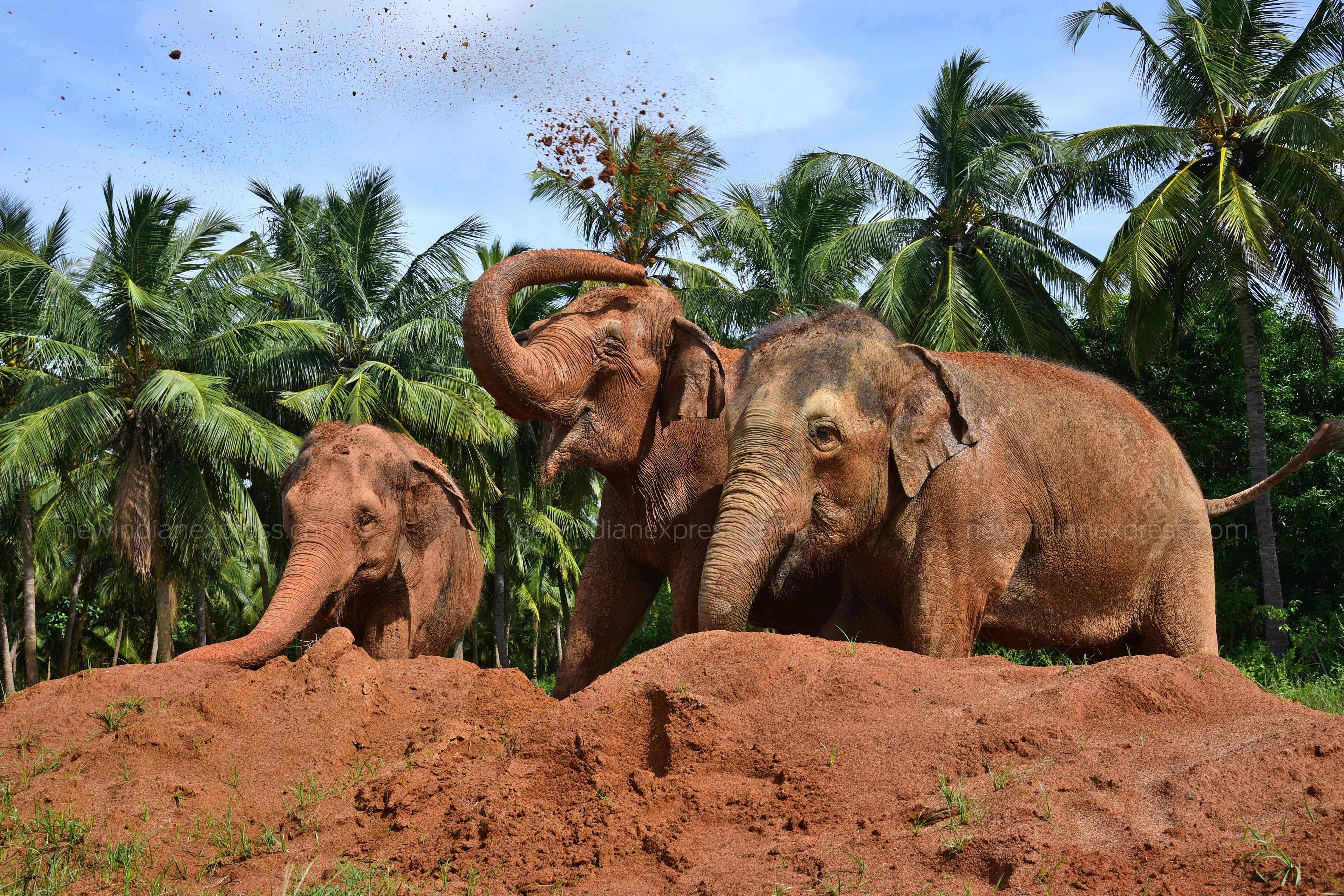 In 2016, based on the request from temple authorities who could no longer look after the jumbos, Forest Department granted permission to shift them to ECF of Wildlife Rescue and Rehabilitation Centre (WRRC) and TREE Foundation in Marakkanam for medical care and specialised treatment for a period of three months.