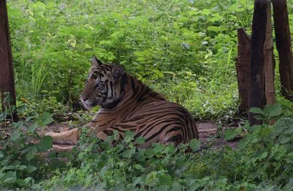 India lost 750 tigers in last eight years; most deaths in Maharashtra, Madhya Pradesh: Govt