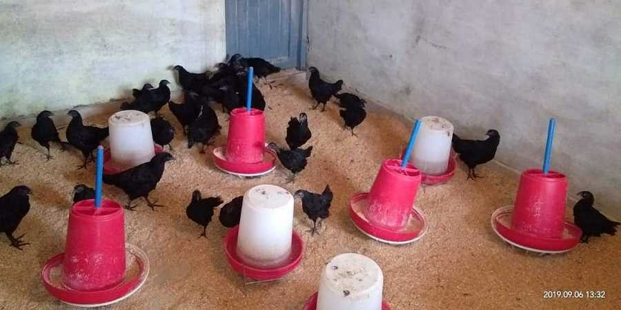 Cops hunt for 70 rare breed black Kadaknath chicks stolen