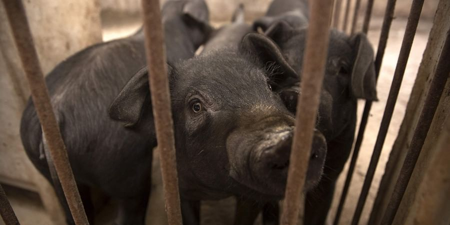 Philippines: African swine fever culls 7,400 pigs