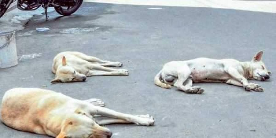 File Image of stray dogs for representational purposes.   Express Photo Services