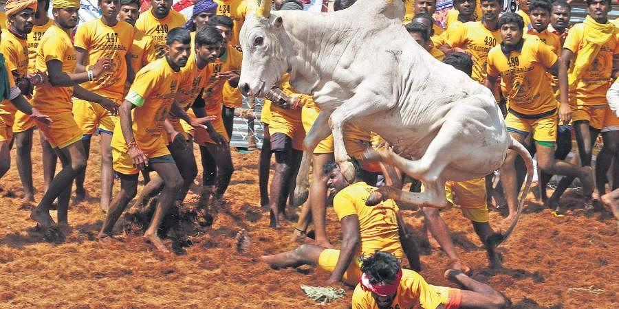 Jallikattu, Bull taming