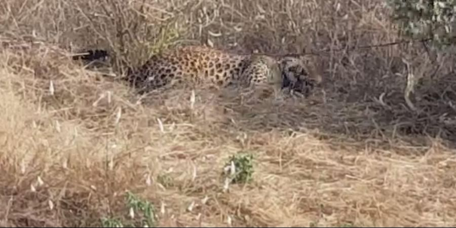 The leopard which got trapped in a snare at Telangana's Nalgonda district
