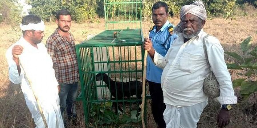 A goat is kept inside the cage which was arrenged by forest department staff to catch a leopard at Telangana Univarsity