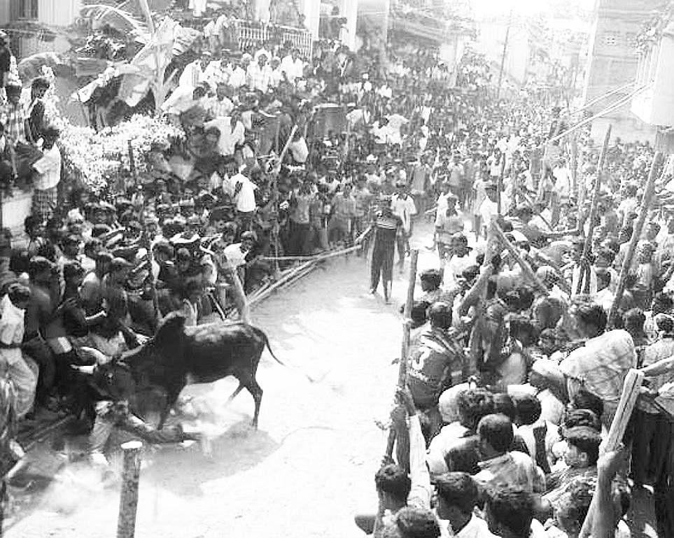 2009: A bull attacks a youth during jallikattu at Thammampatti village near Salem. 254 bulls and 225 men took part in the event (Photo | EPS)