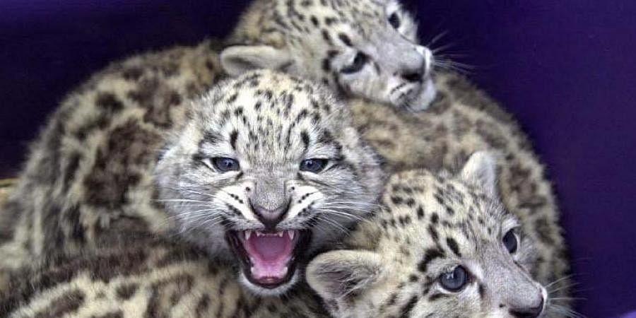 Three snow leopard cubs