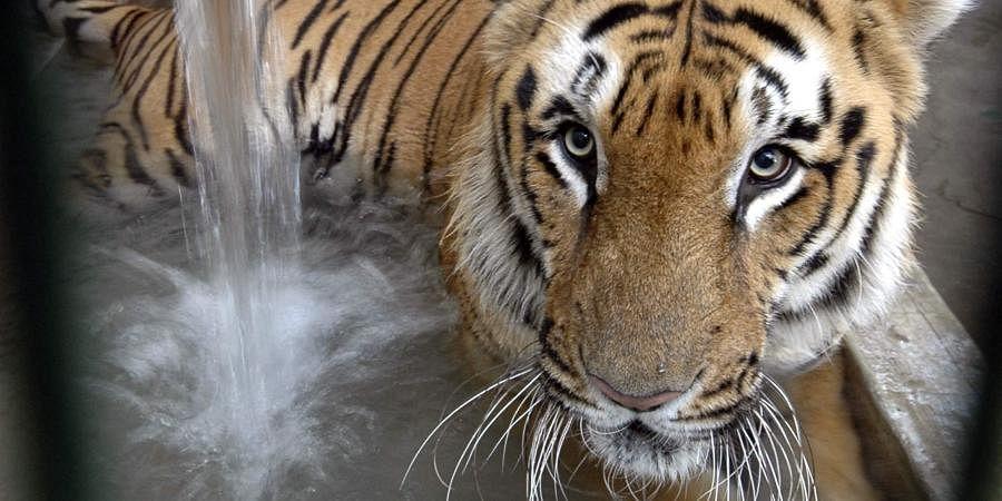 Tiger, tiger census