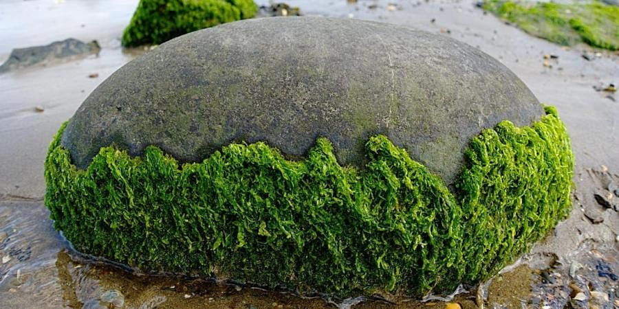 Seaweeds, Algae, Beach, Rock