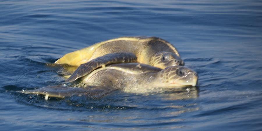 Olive Ridley sea turtles arriving at Gahiramatha marine sanctuary