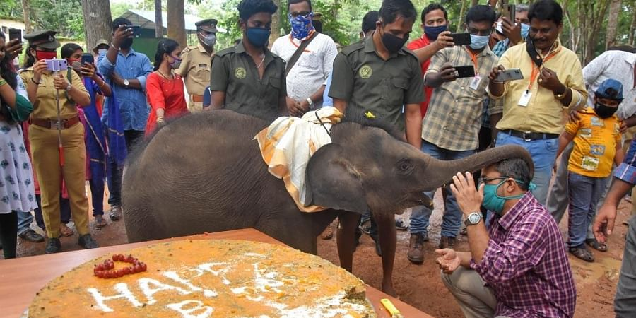 Sreekutty had a gala time at her first birthday celebrations, held at the Elephant Rehabilitation Centre, Kappukadu near Kottur on Sunday where she cut a birthday cake made out of ragi, rice |BP Deepu
