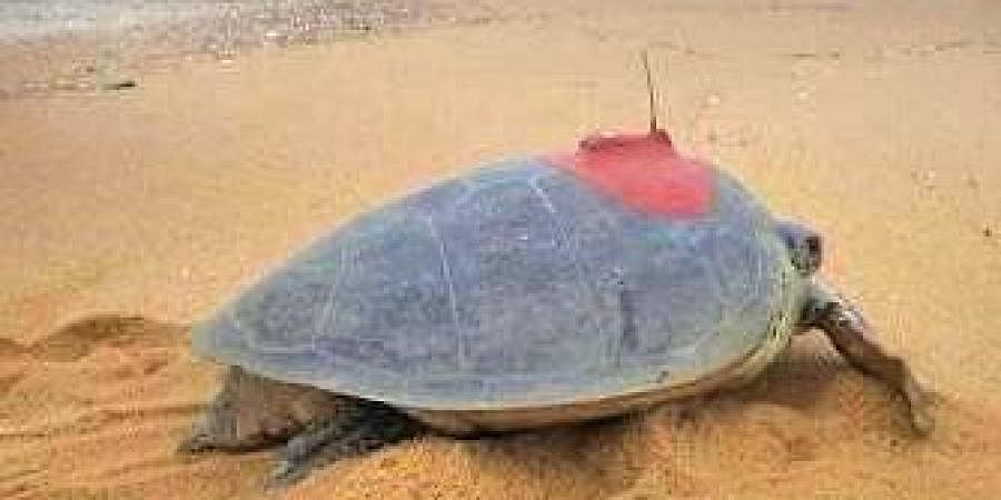 File photo of satellite transmitter fitted on an Olive Ridley turtle | Express