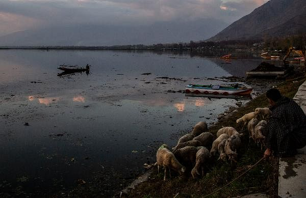 A Kashmiri fisherman rows his boat as sheep graze on the bank of the Dal Lake on a cold evening in Srinagar.