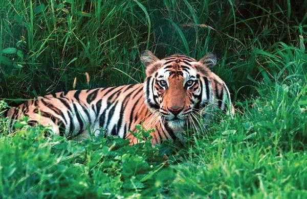 Royal Bengal tiger attacks people after straying out of Assam forest, two injured