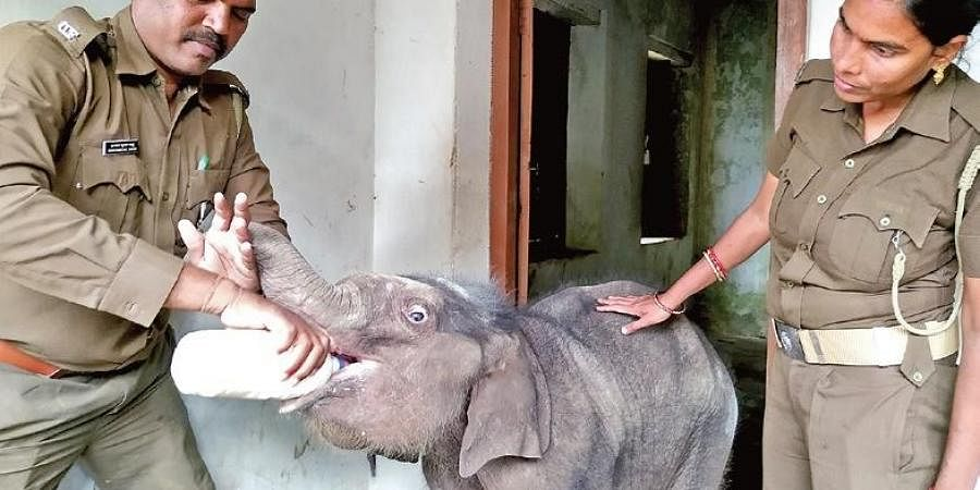 Forest personnel feeding the elephant calf | Express