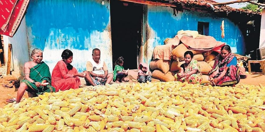 A farmer household with its unsold maize crop in Nuapada district I Express
