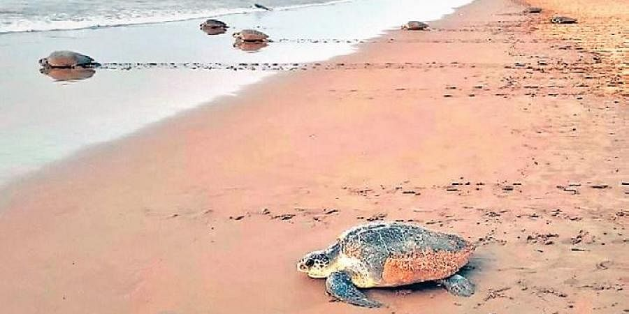 A large number of Olive Ridley turtles have started arriving on the stretch between Gopalpur and Nuagaon, around 4 km from Rushikulya beach in Ganjam district, said DFO Amlan Nayak.