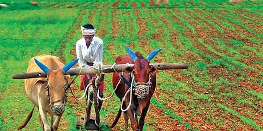 farming, cow, agriculture, bullock,