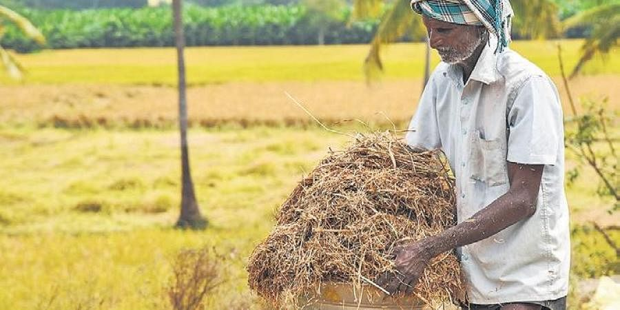 A farmer carrying  husk from a rice blast disease-affected paddy field in Tiruchy on Sunday