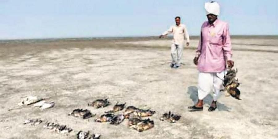 Thousands of migratory birds died last year at Sambhar Lake in Rajasthan due to Avian Botulism, a rare disease which is common in Europe and North Africa.