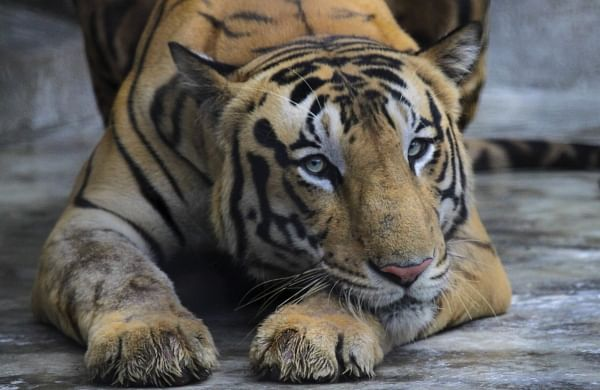 Tiger at New York City's Bronx Zoo tests positive for corona virus