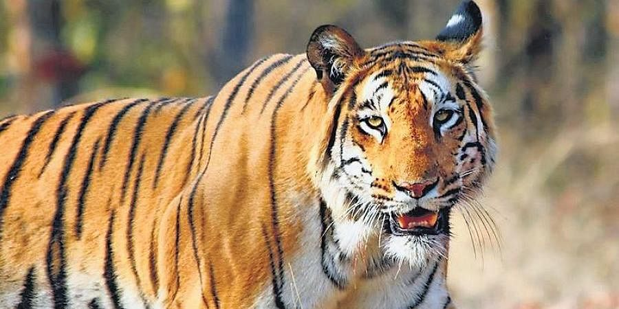 Going by the findings of the latest tiger survey (2018), the state has a robust tiger population of 190
