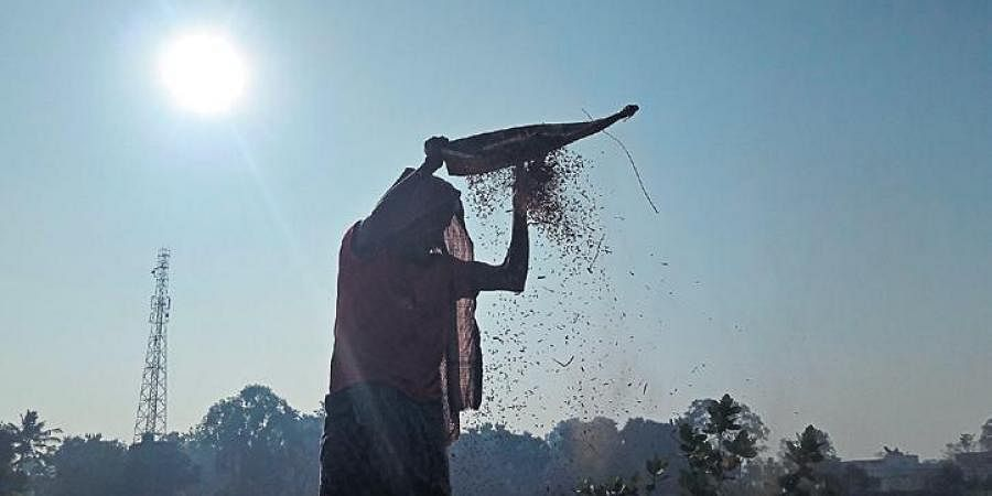 A farmer winnowing paddy in Kendrapara district.