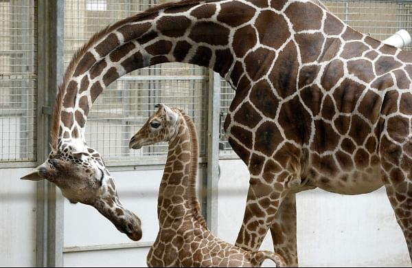 Wildlife experts warn giraffes now extinct in sevencountries