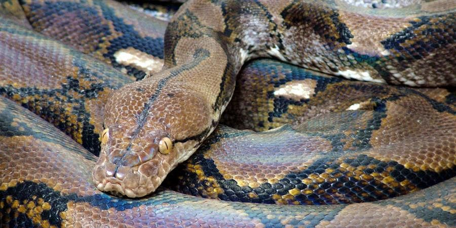A huge Indian Reticulated Python
