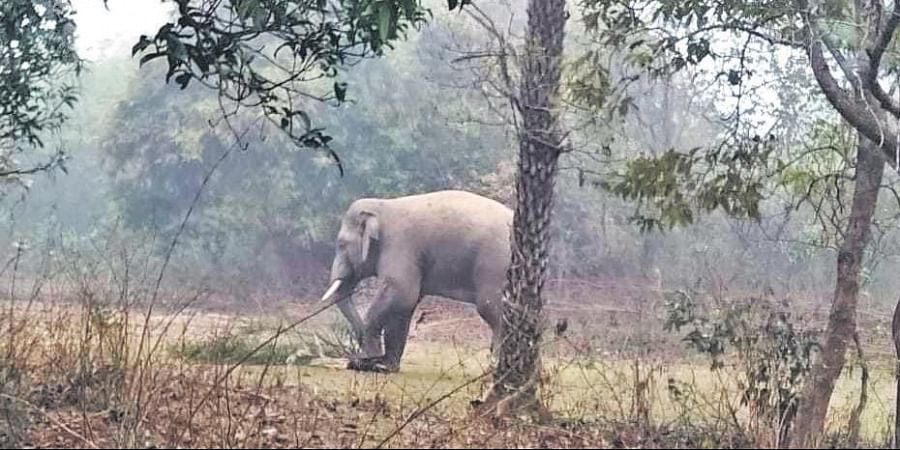 A tusker roaming in Ambatumba within Raibania reserve forest