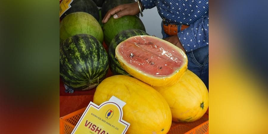 A new variety of watermelon on display at a horticulture fest in Bengaluru on Wednesday