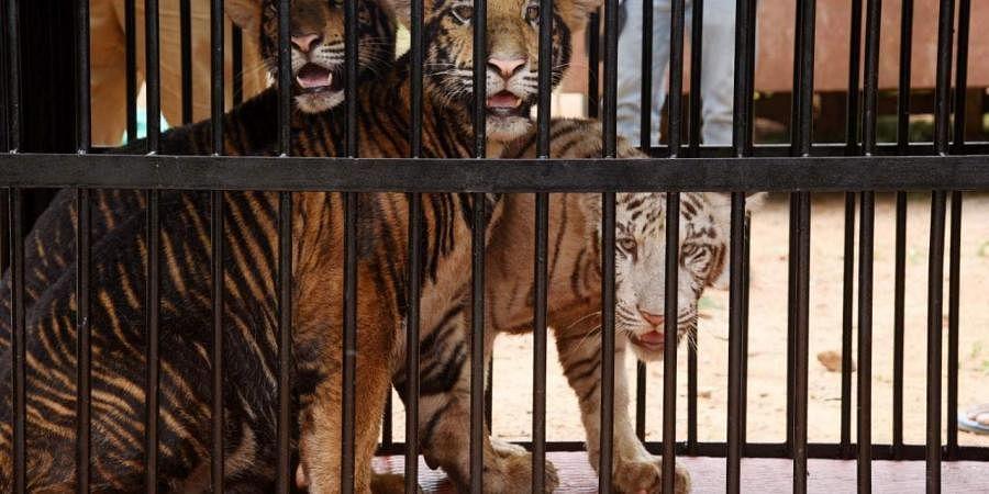 tiger_cubs_at_Vandalur_Zoo