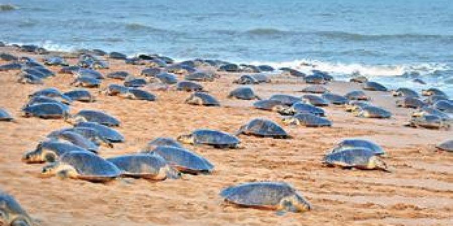 Around 15,000 Olive Ridley sea turtles came ashore for mass-nesting at Nasi-1 and Nasi-2 islands within Bhitarkanika National Park for 'Arribada', a Spanish term for mass-nesting, said DFO of Bhitarkanika Bikash Ranjan Dash.