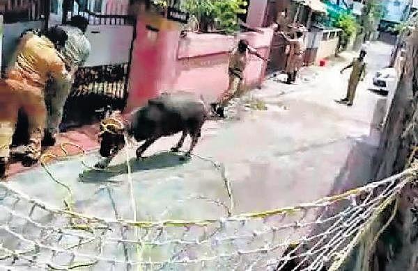 Amid lockdown, buffalo creates scare in Kaloor