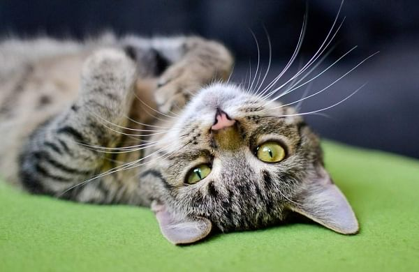 Cat in Chennai faces deportation to China overcoronavirus fears