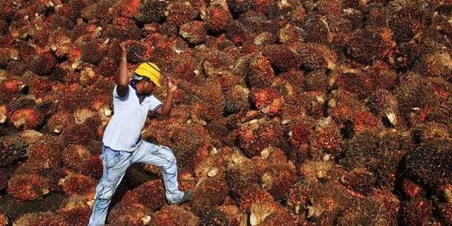 A worker collects palm oil fruit inside a palm oil factory