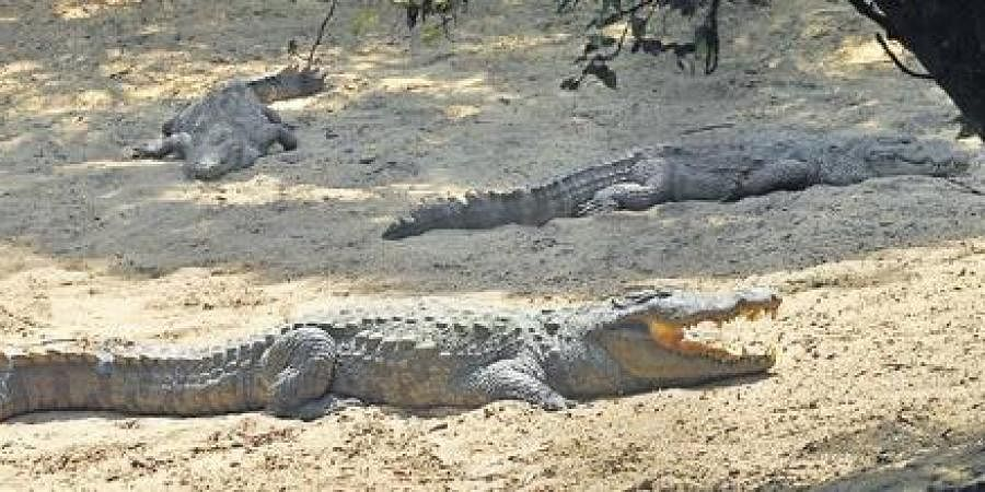 With over 2,000 animals to feed, the Madras Crocodile Bank is struggling to make ends meet.