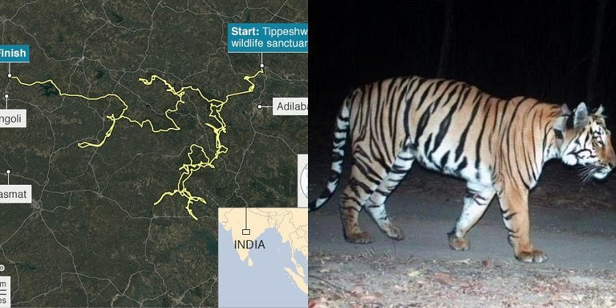 A picture of the tiger along with a map tracking its movement went viral on social media with Twitterati super impressed.