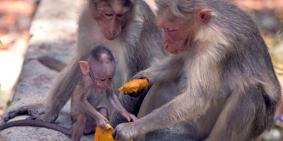 Two monkeys feed their young one at Kallar near Ponmudi in Kerala's Thiruvananthapuram. (Photo | Vincent Pulickal, EPS)