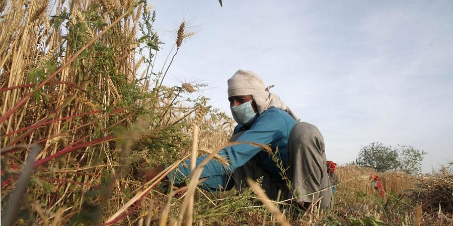 A labourer wearing protective mask works in wheat field at yamuna flood plains during the nationwide lockdown.